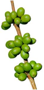 zöld kávé