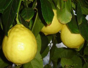citrom3