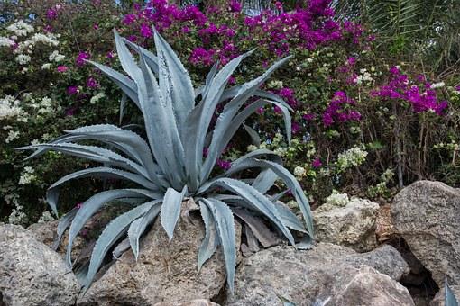 Aloe vera gyógyító hatásai