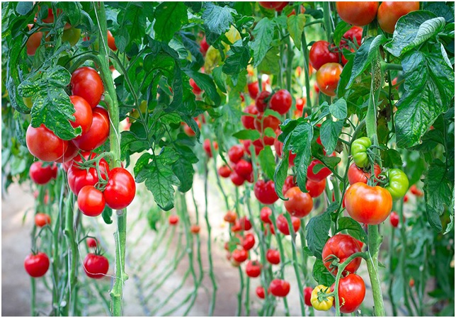 Ezerarcú paradicsom gyógynövényként is