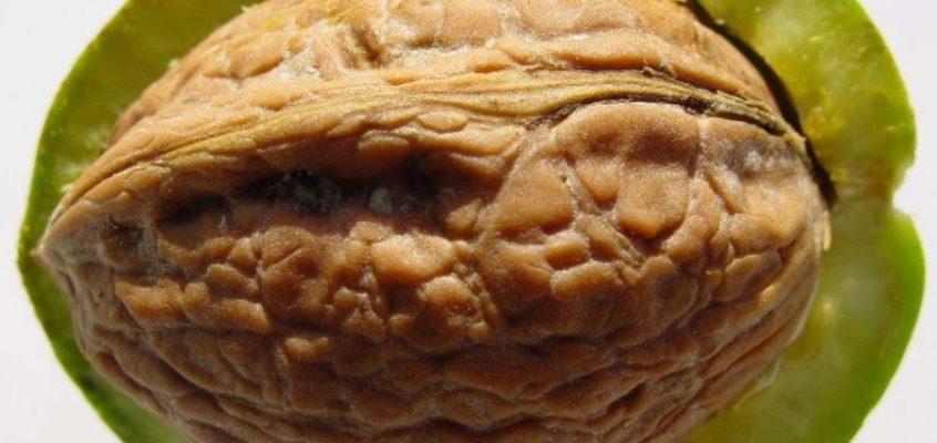 Diókopács (dióburok) 12 féle flavonoidot tartalmaz