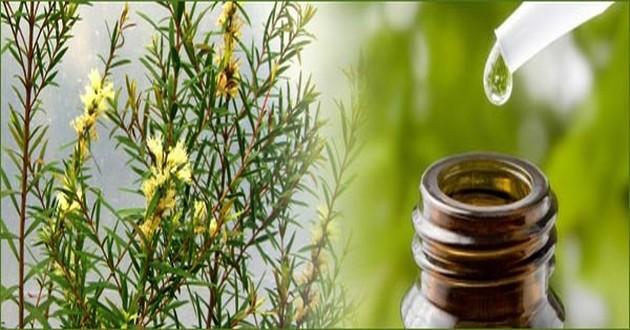 Teafaolaj mint kiváló fertőtlenítő és immunerősítő